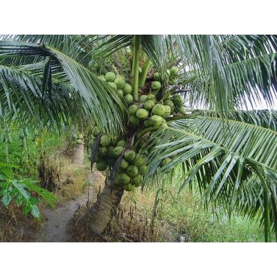 Dừa Xiêm lùn